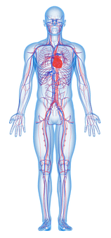An Image of a body with veins showing